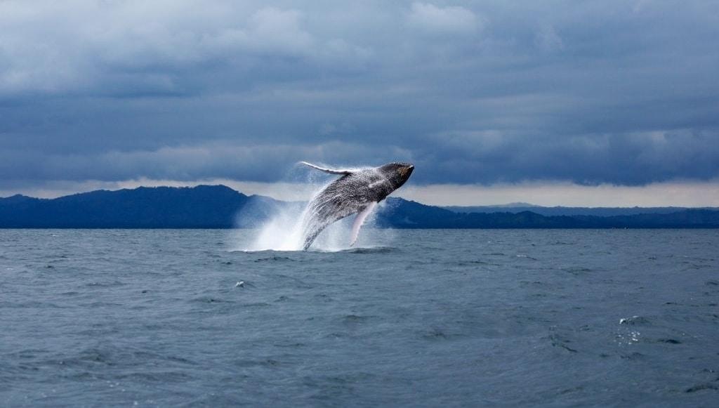 ballenas jorobadas samana republica dominicana